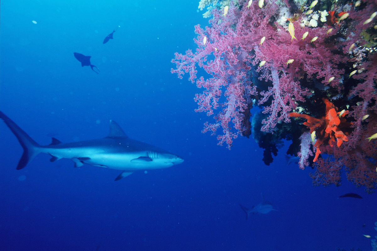 Reef Sharks in Amed, Bali