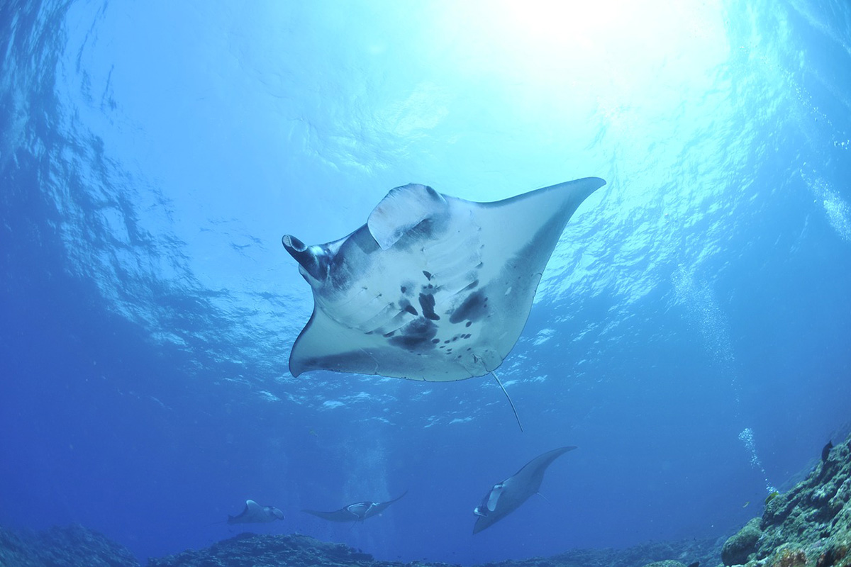 Manta Rays Season in Bali