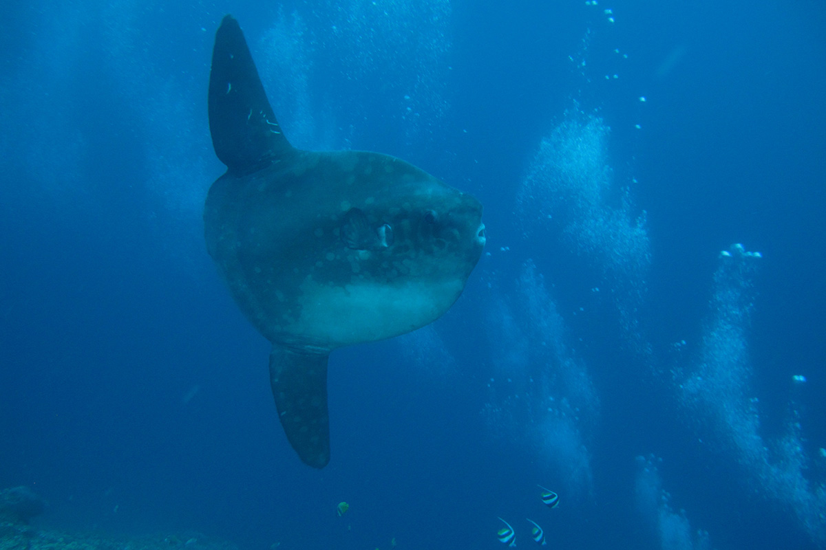 Diving with Mola Mola in Candidasa, Bali