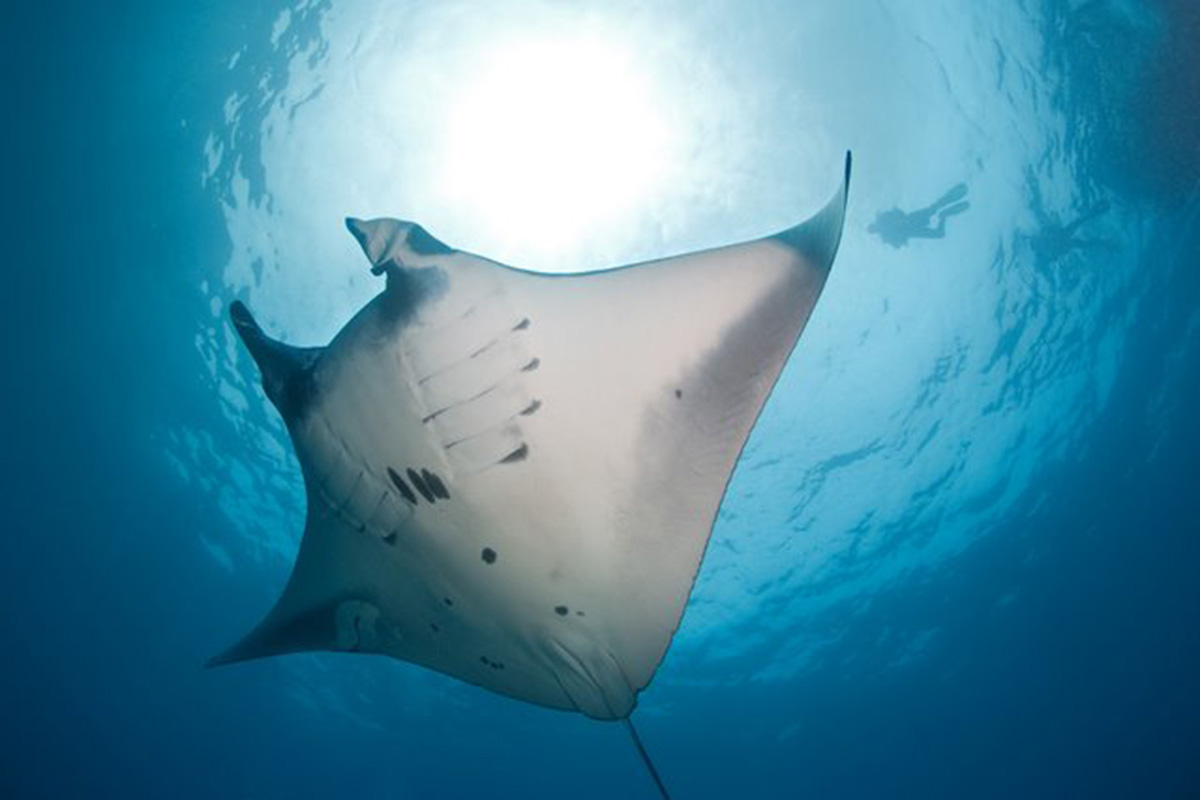 Diving with Manta Rays in Bali