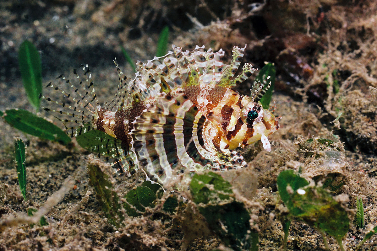 Lionfish - 5 Dive Sites to Explore in Amuk Bay, Bali