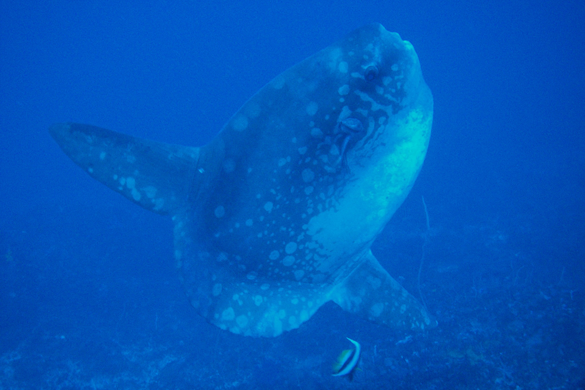 10 Fascinating Facts About Mola-Mola